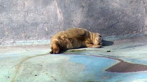 Newborn Seal Pup Sunbathes at the Kaliningrad Zoo - Sputnik International