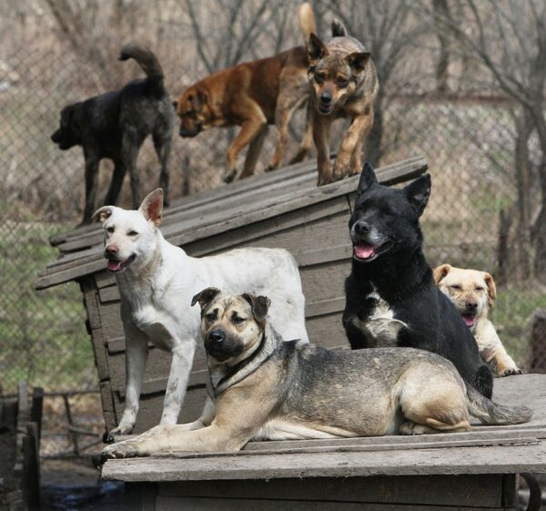 According to the statistics, there were about 260,000 homeless canines in New Delhi in 2009. - Sputnik International