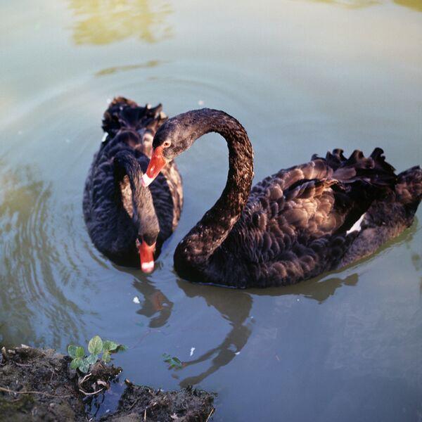 Rare Black Swan Killed in Kaliningrad Zoo          - Sputnik International