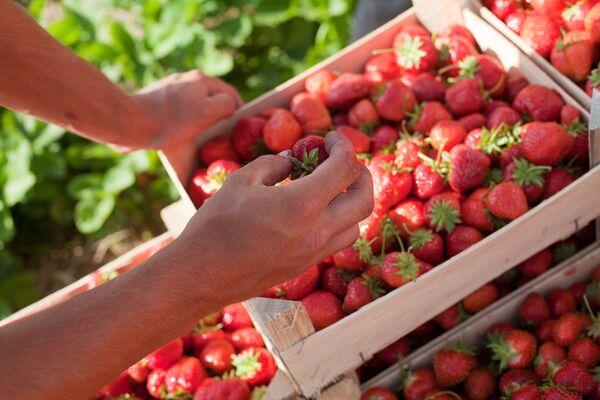 A Day in the Strawberry Field - Sputnik International