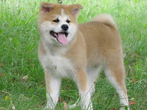 an Akita Inu puppy named Yume  - Sputnik International