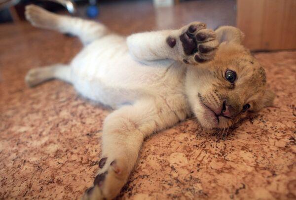 Ligress-Lion Hybrid Born at Novosibirsk Zoo - Sputnik International