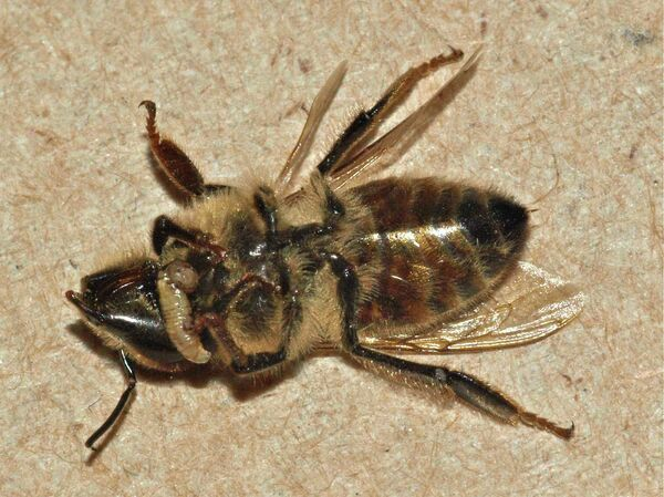 """""""Zombie Bee"""" - Sputnik International"""