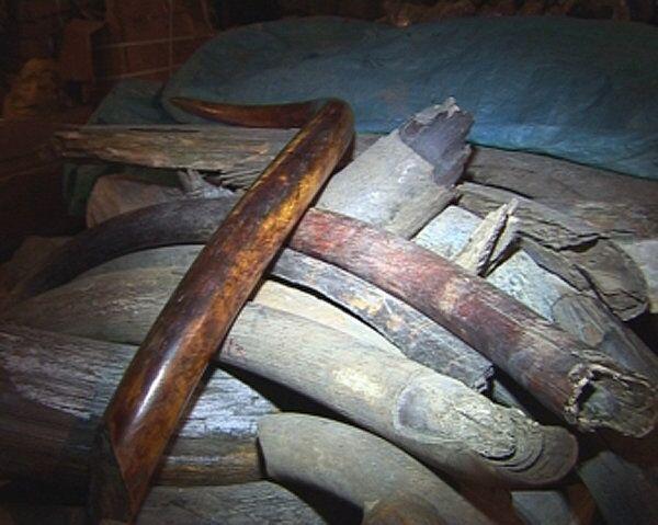 Police Seize 600 Kilos of Mammoth Tusks in Far East - Sputnik International