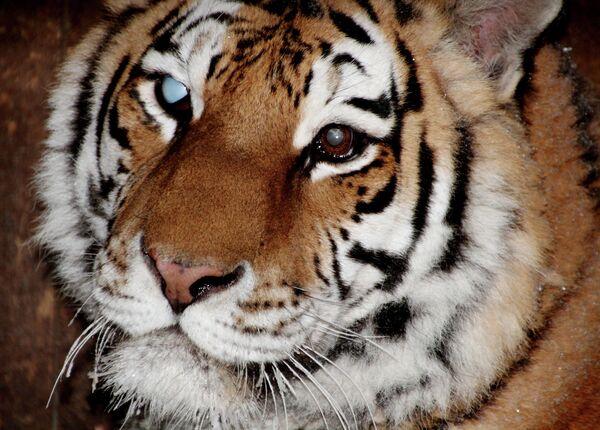 Glyukoza, the 11-year-old tigress - Sputnik International