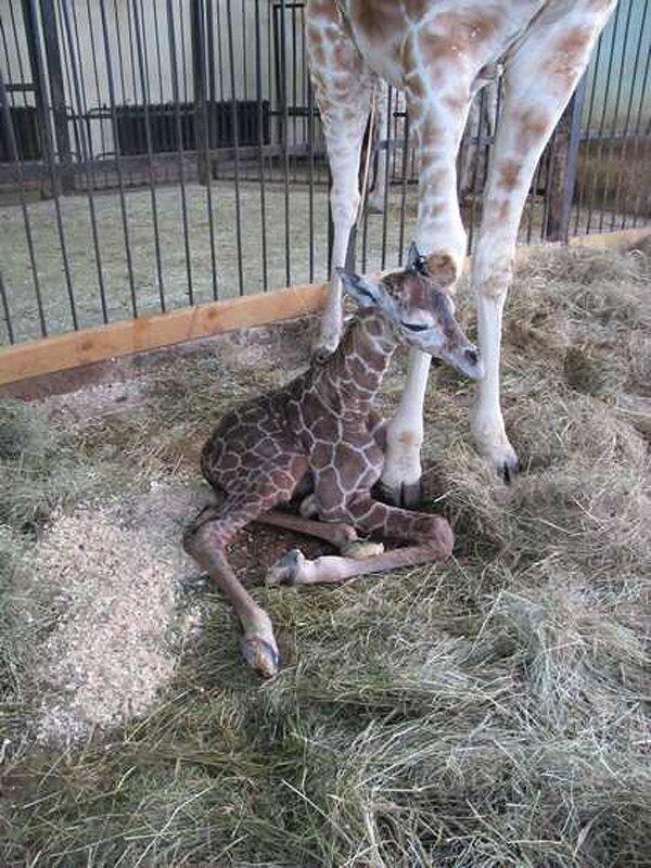 Giraffe Calf Born at Russian Zoo - Sputnik International