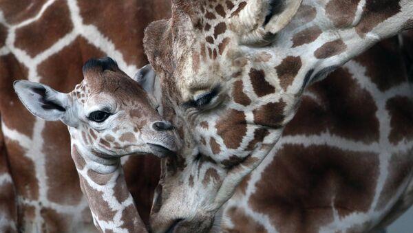 В Калининградском зоопарке родился жираф Reticulate Giraffe - Sputnik International
