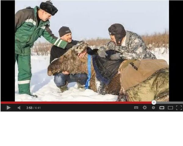 Pregnant Moose Rescued from Siberian Swamp - Sputnik International