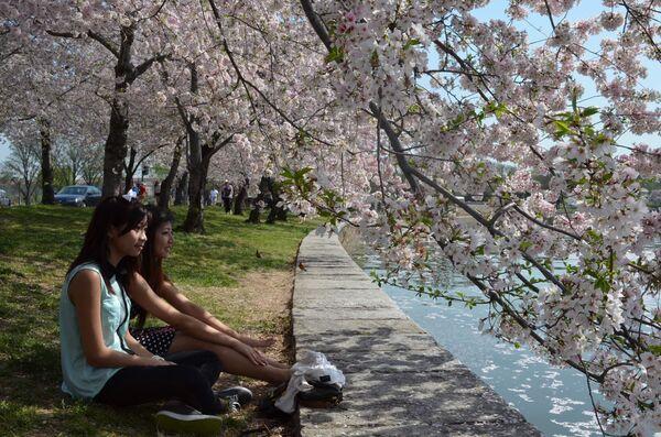 Washington Cherry Blossom - Sputnik International