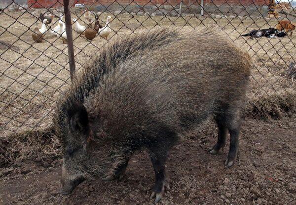 A wild boar is pictured in Kaliningrad, Russia. - Sputnik International