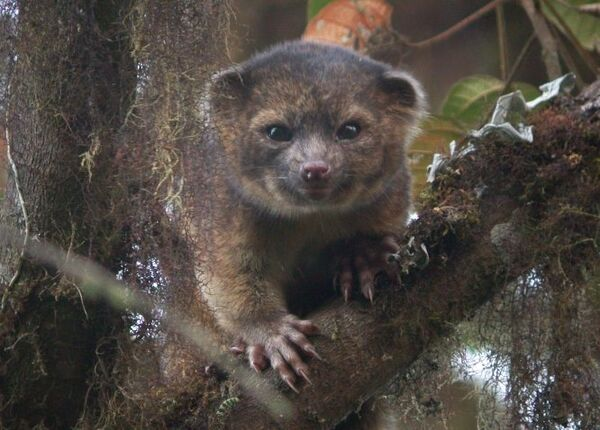 The olinguito, the first carnivore species to be discovered in the American continents in 35 years. - Sputnik International