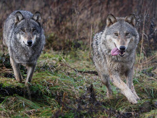 Kazakh Man Kills Wolf with Bare Hands – Report - Sputnik International