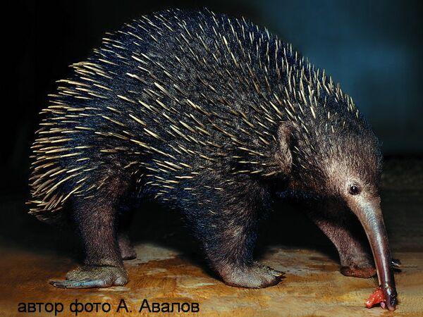 Smol, the tiny endangered echidna, or spiny anteater - Sputnik International