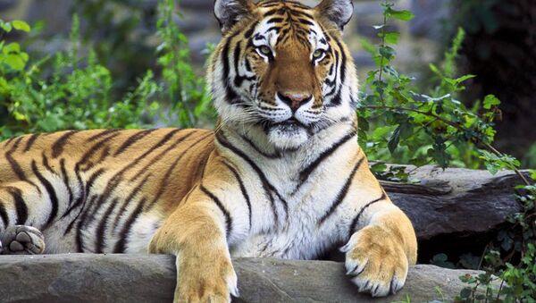 Amur Tigers, Lotuses and Other Wonders of Russia's Khabarovsk Region - Sputnik International