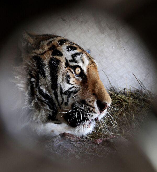 Russia Mulls Neurosurgery for Crippled Tiger - Sputnik International