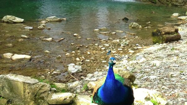 A pet peacock in front of a waterfall on Shakhe River. Tourists can take a picture with it for 100 rubles ($3) - Sputnik International