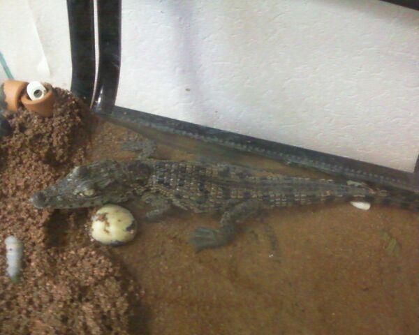 Street Cleaners Find Baby African Crocodile in St. Petersburg - Sputnik International
