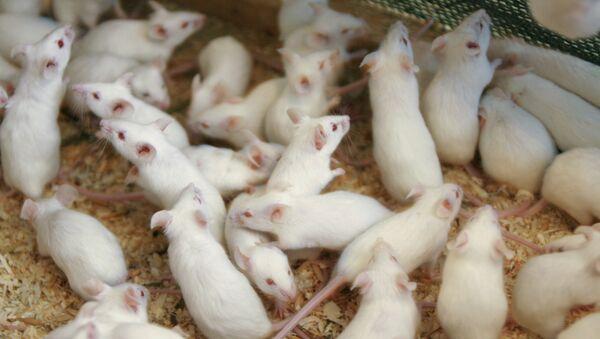 Lab mice - Sputnik International