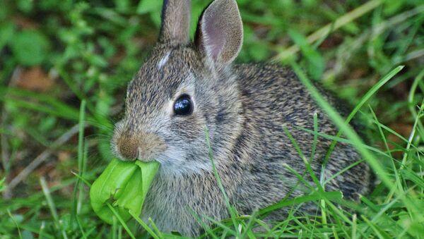 Little bunny, big leaf Taken on May 30, 2009 - Sputnik International